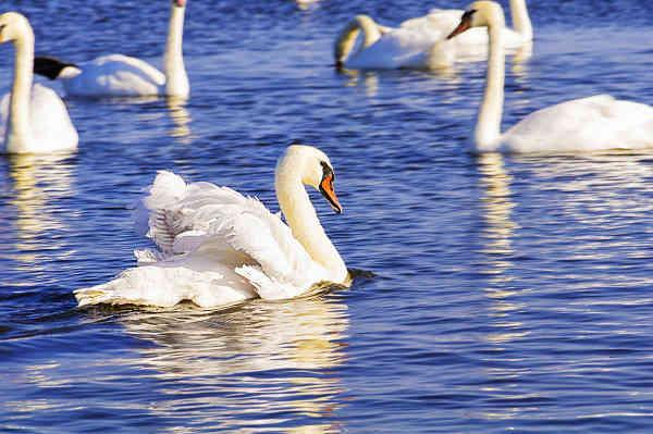 Фото лебединого озера в Евпатории